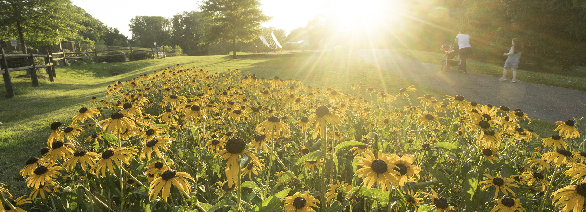 Summer sunflowers in a field at sunset at Van Dyck Park